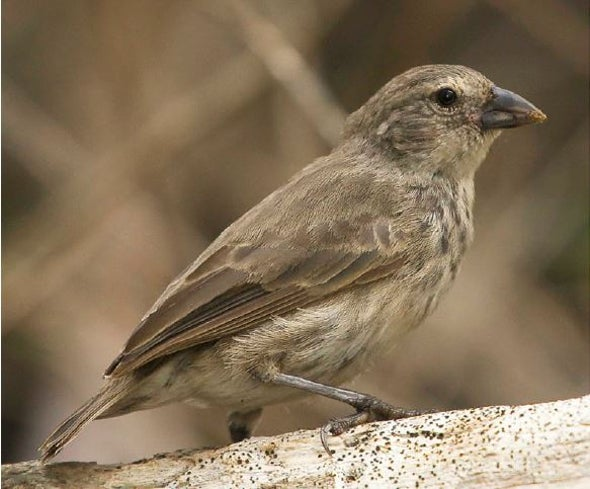 The Mangrove Finch: An Extinction in Slow Motion