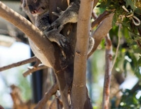 Photoblogging: Snoozing Koala