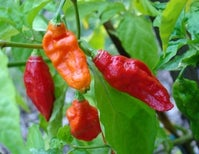 A Guy Ate Ghost Peppers and Barfed So Hard He Tore His Esophagus