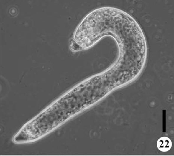 Wonderful Things: Amoebas That Grow into Candy Canes