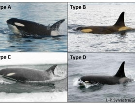 First footage captured of rare 'Type D' orcas