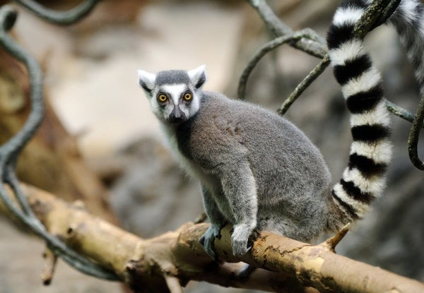 Ring-Tailed Lemur Populations Have Crashed by 95 Percent