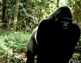 $10-Million Action Plan Aims to Save World's Most Endangered Gorilla