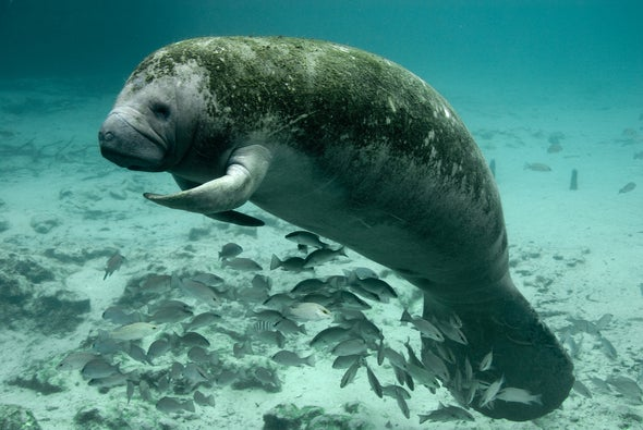 Are Florida Manatees A Conservation Success Story or Are They Still in Danger?
