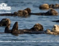 Live HD Stream of California Sea Otters in the Wild from Seaotters.com