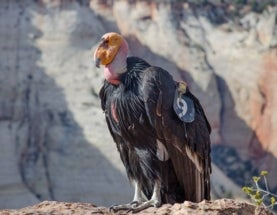Wild Births are Big Steps for Rare California Condors and Mexican Wolves