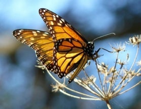 Monarch Butterflies Could Gain Endangered Species Protection