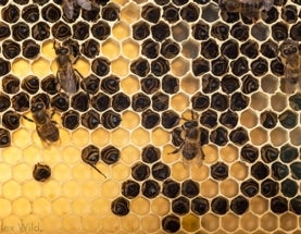2013-2014 Winter Honey Bee Losses Are Likely To Be Large