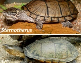 Musk turtles and mud turtles: look boring, are secretly hyper-diverse