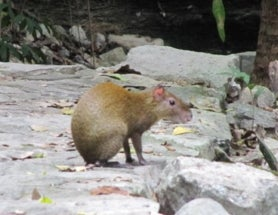 Sunday Species Snapshot: Mexican Agouti