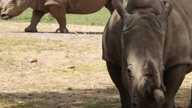 How Many White Rhino Species Are There? The Conversation Continues