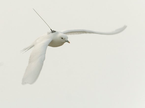 Another Arctic Species Losing Out As Sea Ice Declines The Ivory Gull Scientific American Blog Network