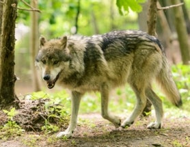 Mexican Wolves Finally Get Endangered Species Status
