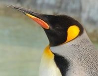 King Penguins Like One Another's Beaks