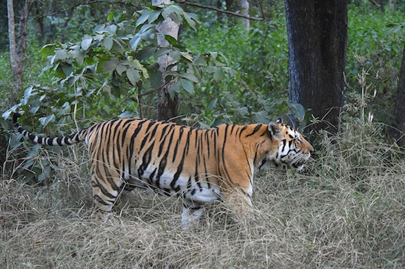 In India, Agroforestry Is a Win for Both Tigers and Villagers