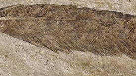 Iconic Fossil Feather Probably Didn't Belong to Archaeopteryx