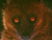 Sunday Species Snapshot: Fijian Monkey-Faced Bat