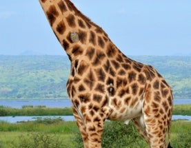 Sunday Species Snapshot: Rothschild's Giraffe