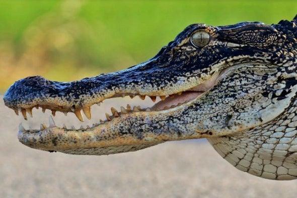Alligators Can Turn Armor into Eggshell