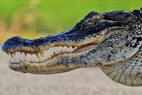 Alligators Can Turn Armor into Eggshell