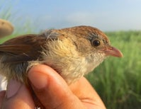 'Extinct' Myanmar Jerdon's Babbler Spotted for the First Time in 70 Years
