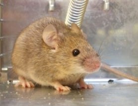 Mice Will Approach Another Mouse in Pain, But Only When He's Top Mouse