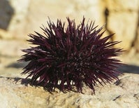 Weirder Than Science Fiction: How Sea Urchins Reproduce