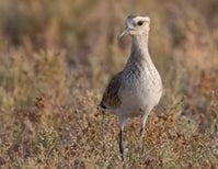 Sunday Species Snapshot: Sociable Lapwing