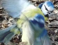 A Battle among Blue Tits