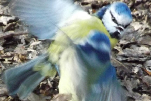 A Battle among Blue Tits