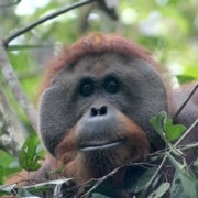 Call of the Orangutan: The Ups and Downs of Research in Indonesia