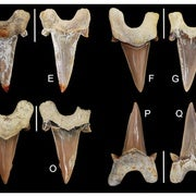 Paleo Profile: The Bryant's Shark