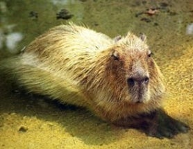 Measure Yourself by the Standard of the Capybara