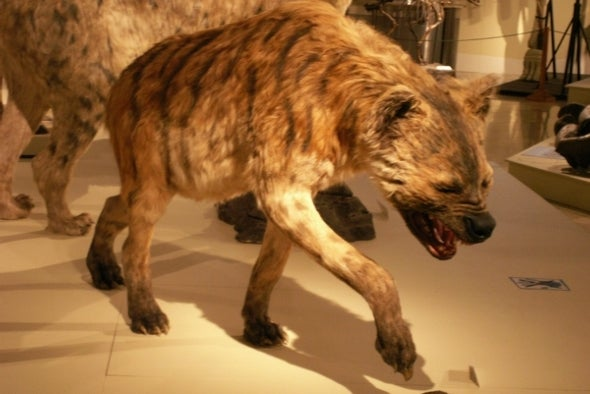 Paleo Profile: The Short-Faced Hyena