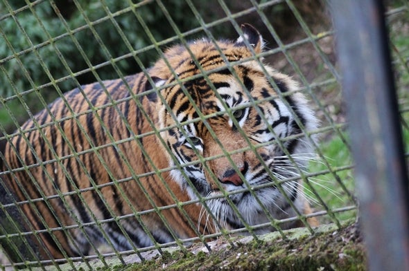 Tiger Farms Linked to Massive Surge in Illegal Trafficking