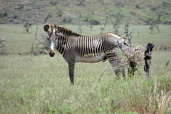 Devil Tree Threatens the World's Rarest Zebras