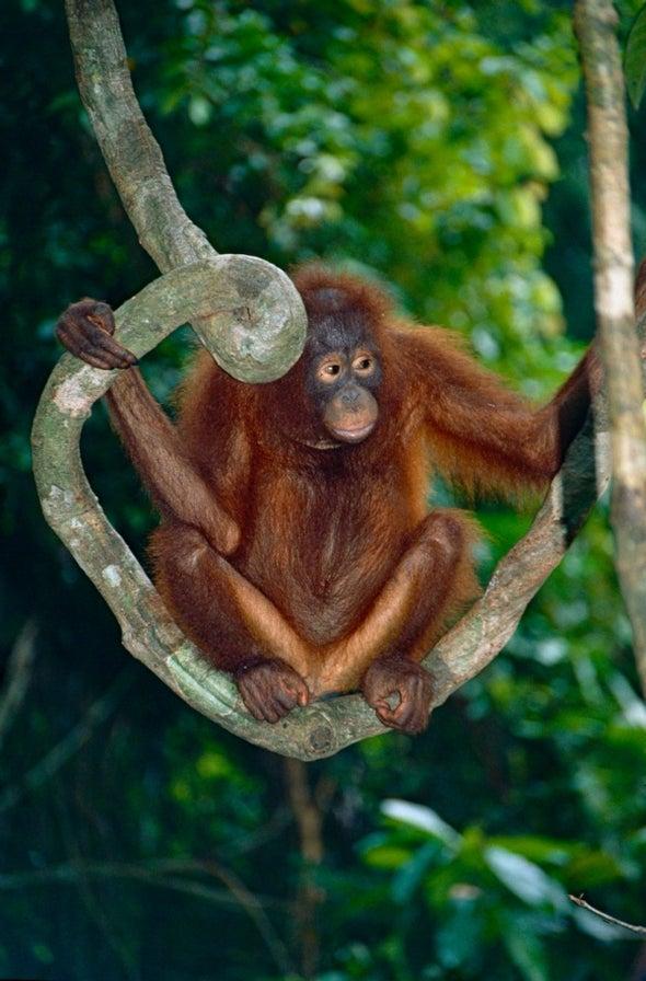 Bornean Orangutan Now Critically Endangered