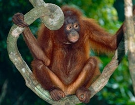 Bornean Orangutan Now Critically Endangered