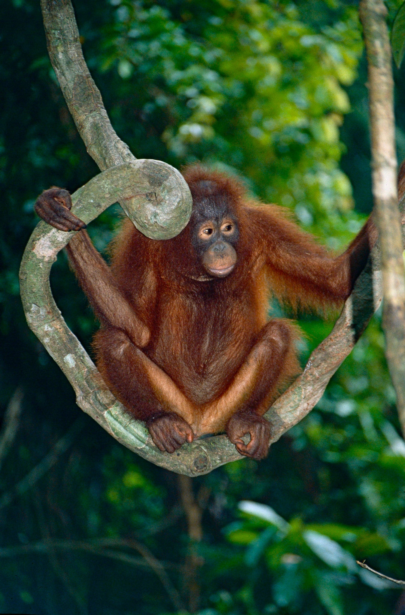 Image of: Palm Oil Bornean Orangutan Now Critically Endangered Scientific American Blogs Bornean Orangutan Now Critically Endangered Scientific American