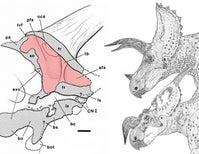 The Supracranial Sinus of the Horned Dinosaur Skull