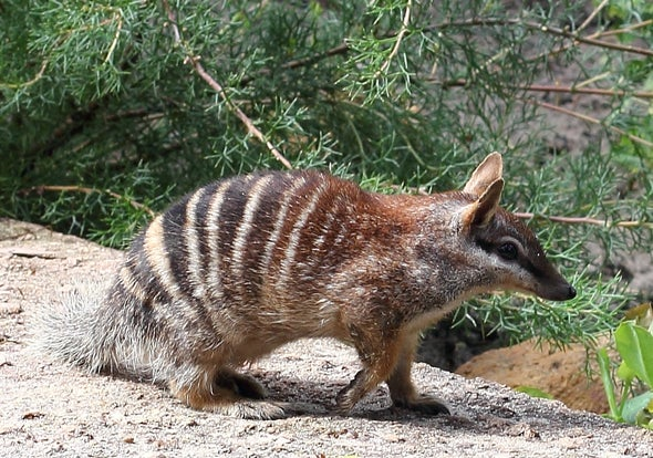 Feral Cats Are Killing Off One of Australia's Cutest Marsupials