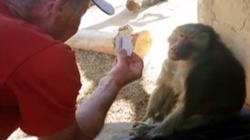 Did the Baboon Feel the Magic?