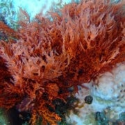 Why Red Algae Never Packed Their Bags for Land