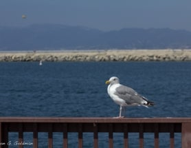 Photoblogging: More California Gulls