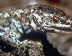 Unusual Night Lizard Returns after Eradication of Invasive Species