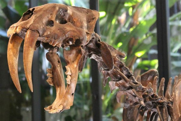 Saberkittens Were Double-Fanged for 11 Months