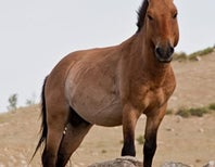 10 Things You Didn't Know About Przewalski's Horses