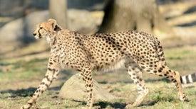 Can the Cheetah Outrun Extinction?