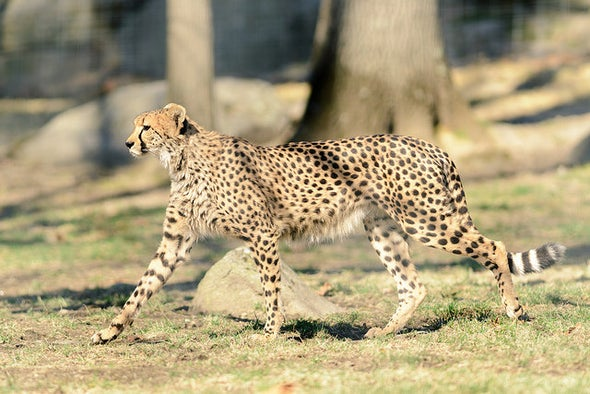 Can the Cheetah Outrun Extinction?