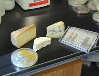 Gene Sharing in Cheese Microbes, Part 1